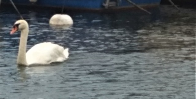 swan swimming Geneva cropped